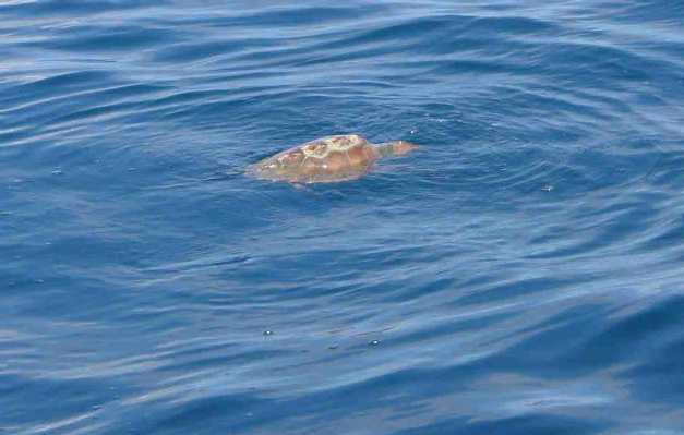 Schildpad midden in de oceaan.
